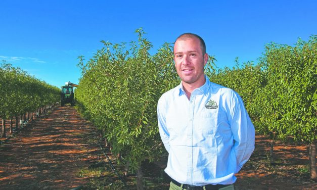 Super almond yields from high density orchard